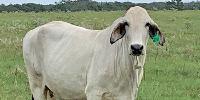 25 Brahman Cows... Central TX