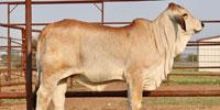 2 Reg. Brahman Rep. Heifers... North TX
