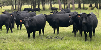 54 SimAngus Bred Heifers... Northern FL