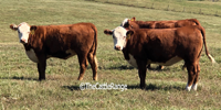 20 Reg. Polled Hereford Rep. Heifers... N. Central TX
