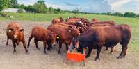 20 Santa Gertrudis Bred Heifers... Southeast TX ~ PI-N