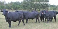 30 Angus & Angus Cross Cows... Central TX