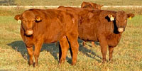 119 Red Angus Cross Bred Heifers... N. Central OK ~ FD