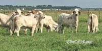 35 Brahman Bred Heifers... S. Central LA