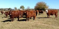 40 Red Angus & Red Angus Cross Cows... Southwest MO