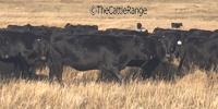 120 Reg. Angus Bred Heifers... E. Central WY