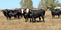 40 Angus & BWF Angus Cows... Southwest MO