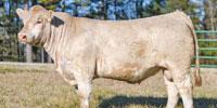 15 Reg. Charolais Bulls... East TX