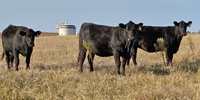 61 Angus Bred Heifers... W. Central OK