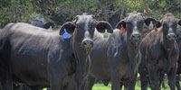 200 Brangus Bred Heifers... Central TX