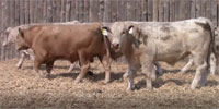 300 Reg. Angus, Red Angus, LimFlex, SimAngus & Charolais Bulls... Southeast CO