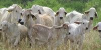 47 Brahman Cows w/ 14+ Calves... South TX