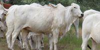 120 Brahman Bred Heifers... South TX