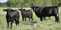 78 Angus Plus & Brangus Cows... Northeast TX