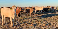 40 Beefmaster, Red Angus, Charolais & Charolais Cross Cows... Central TX