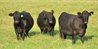 25 Angus 1st-Calf Pairs... Northeast TX