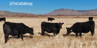 50 Reg. Angus Bred Heifers... Southwest WY
