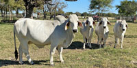 4 Reg. Brahman Bred Heifers... Northeast TX
