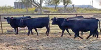 33 Angus Bred Heifers... W. Central OK ~ GF