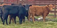 25 Red Angus Rep. Heifers... S. Central MO