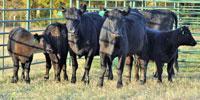 3 Angus 1st-Calf Pairs... Central TX
