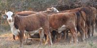 49 Braford Type Rep. Heifers... Central TX