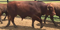 14 Reg. Red Brangus Bulls... East TX