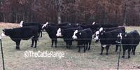17 Black Baldy Rep. Heifers... Northeast AR
