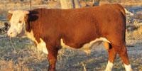 20 Reg. Hereford Bulls... Oklahoma Panhandle