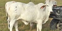 3 Reg. Brahman Rep. Heifers... Northeast TX
