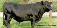 1 Reg. Angus Bull... Central FL
