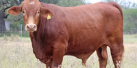 6 Reg. Beefmaster Bulls... South TX (1)