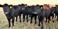 24 Angus Rep. Heifers... Northeast OK