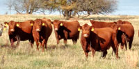 40 Red Angus & RWF Cows... Southwest MO