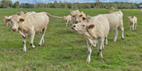 18 Reg. Charolais Cows w/ 11+ Calves... Northern FL