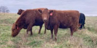 10 Red SimAngus Bred Heifers... W. Central MO