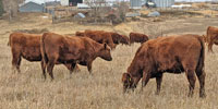 53 Red Angus Bred Heifers... Southeast NE