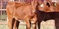 6 Reg. Beefmaster Rep. Heifers... South TX ~ PI-N (1)