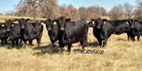 32 SimAngus Cows... Southwest MO