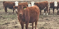 20 Akaushi Cross Bred Heifers... Southeast WY ~ FD
