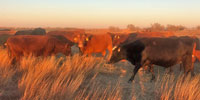 61 Crossbred Cows... Southwest KS