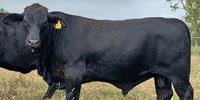 1 Brangus Bull... Southeast LA