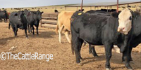 100 Crossbred Cows w/ 8+ Calves... North TX