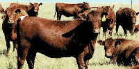 169 Red Angus Bred Heifers... Southeast WY