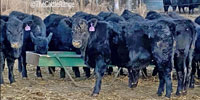 25 Angus Rep. Heifers... N. Central KS
