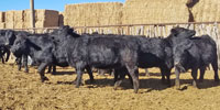 12 Angus/Red Angus Cross Rep. Heifers... Central NM