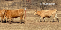 11 Charolais/Red Angus Bred Heifers... Northeast OK