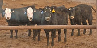 330 F1 Angus/Hereford Cross Rep. Heifers... Southeast SD