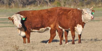 26 Horned Hereford Bred Heifers... Central TX