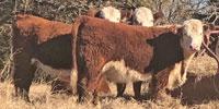 16 Reg. Polled Hereford Rep. Heifers... N. Central TX